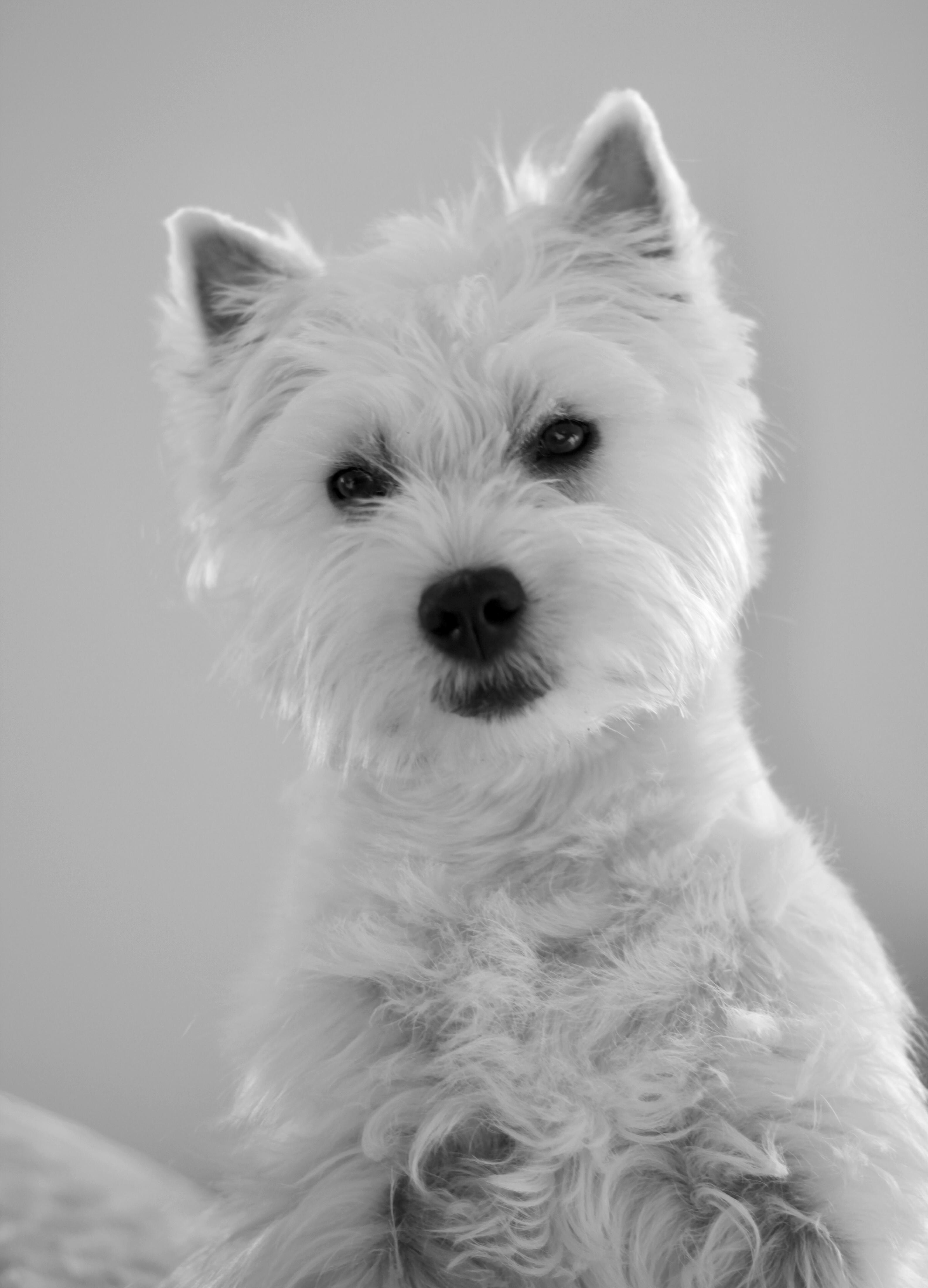 Westie Romy Puppy Chiot 6 Mois Westie Dogs West Highland Terrier Westies