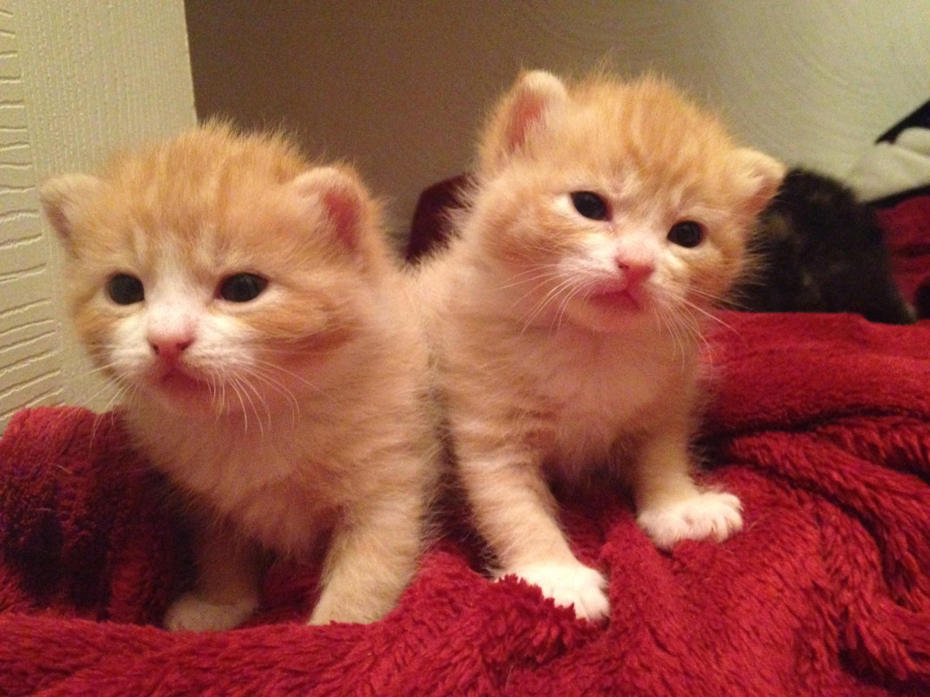 Identical Two Week Old Orange Baby Kittenshttps I Redd It Ifpdx3cnyhz01 Jpg Kittens Baby Animals Baby Kittens