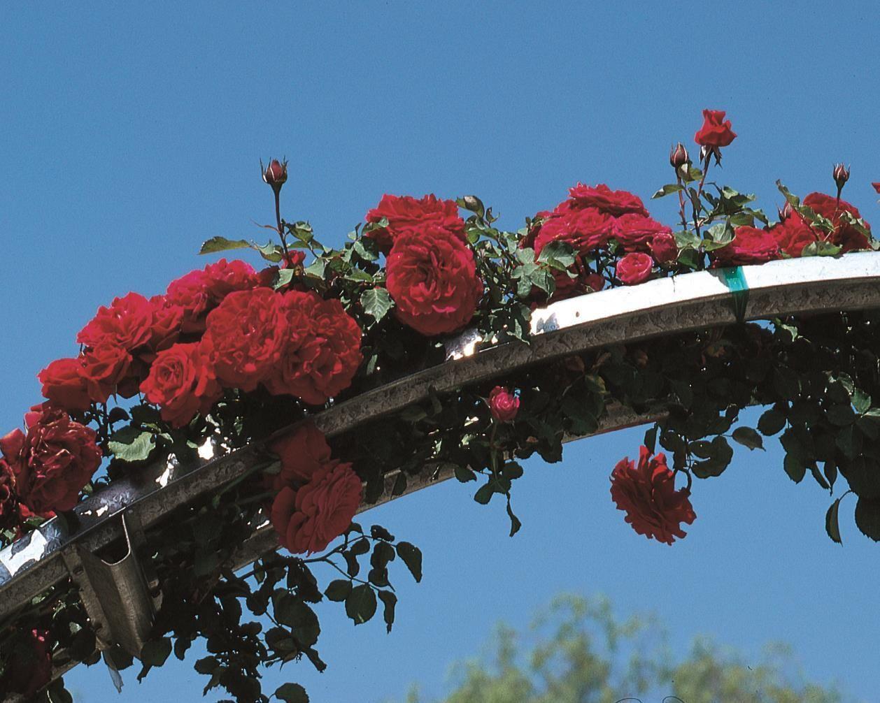 juan roses rose climbing types floribunda tea landscaping witherspoon culture