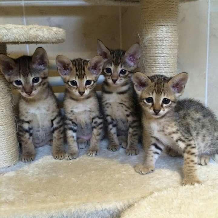 f3 savannah Savannah chat, Kittens