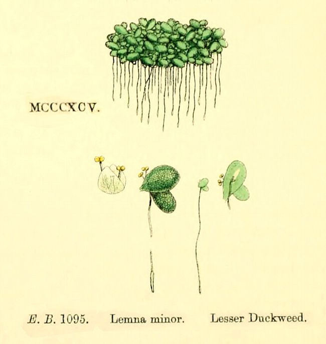 lemna minor morphology | Projects to Try | Botanical art ...