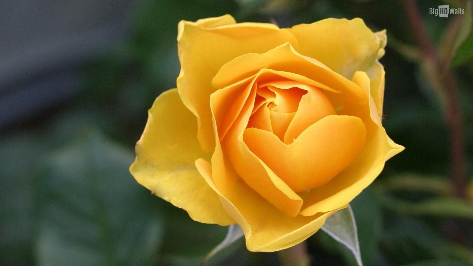 Beautiful Rose 4K Wonderful Rose Ultra HD (2160p) Hoa