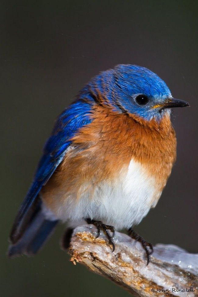 Eastern Bluebird resting on an icy branch ~ Such a beautiful shot of a beautiful Bird! #eastern