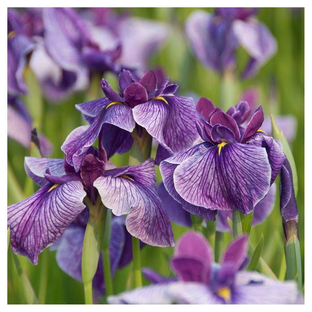 Premium Series Pond Marginal Iris Ensata Activity Kit Van Zyverden Bulb Flowers Plants Water Plants