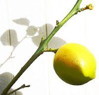 Fermented Lemonade Punch - Kelly the Kitchen Kop #lemonadepunch