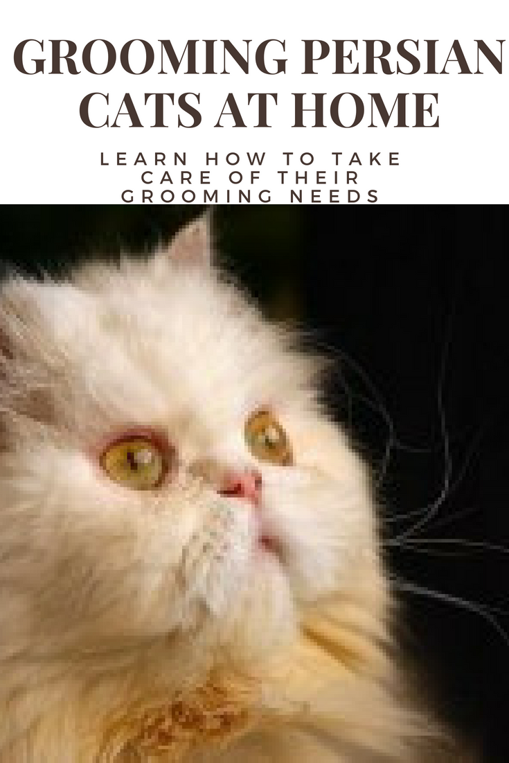 Grooming Persian Cats At Home Learn How to Take Care of
