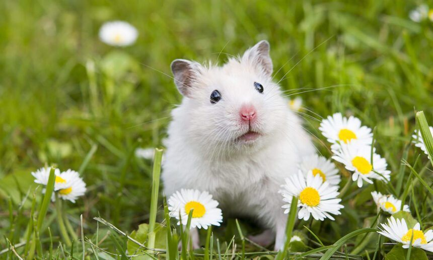 300 Male And Female Hamster Names In 2020 Female Hamster Names Hamster Names Animal Companions
