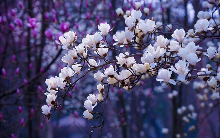 Scarica Sfondi Fiore Di Primavera I Ciliegi In Fiore Primavera