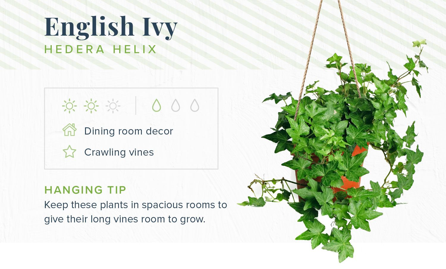 16 Indoor Hanging Plants To Decorate Your Home Proflowers Ivy Plant Indoor Hanging Plants Indoor Hanging Plants