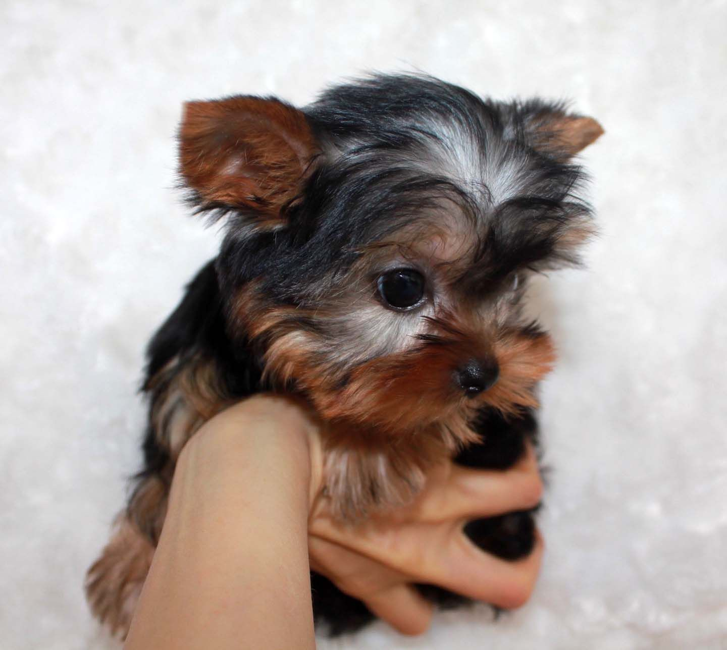 Micro Teacup Yorkie Puppy For Sale Iheartteacups Teacup Yorkie Puppy Teacup Yorkie Yorkie