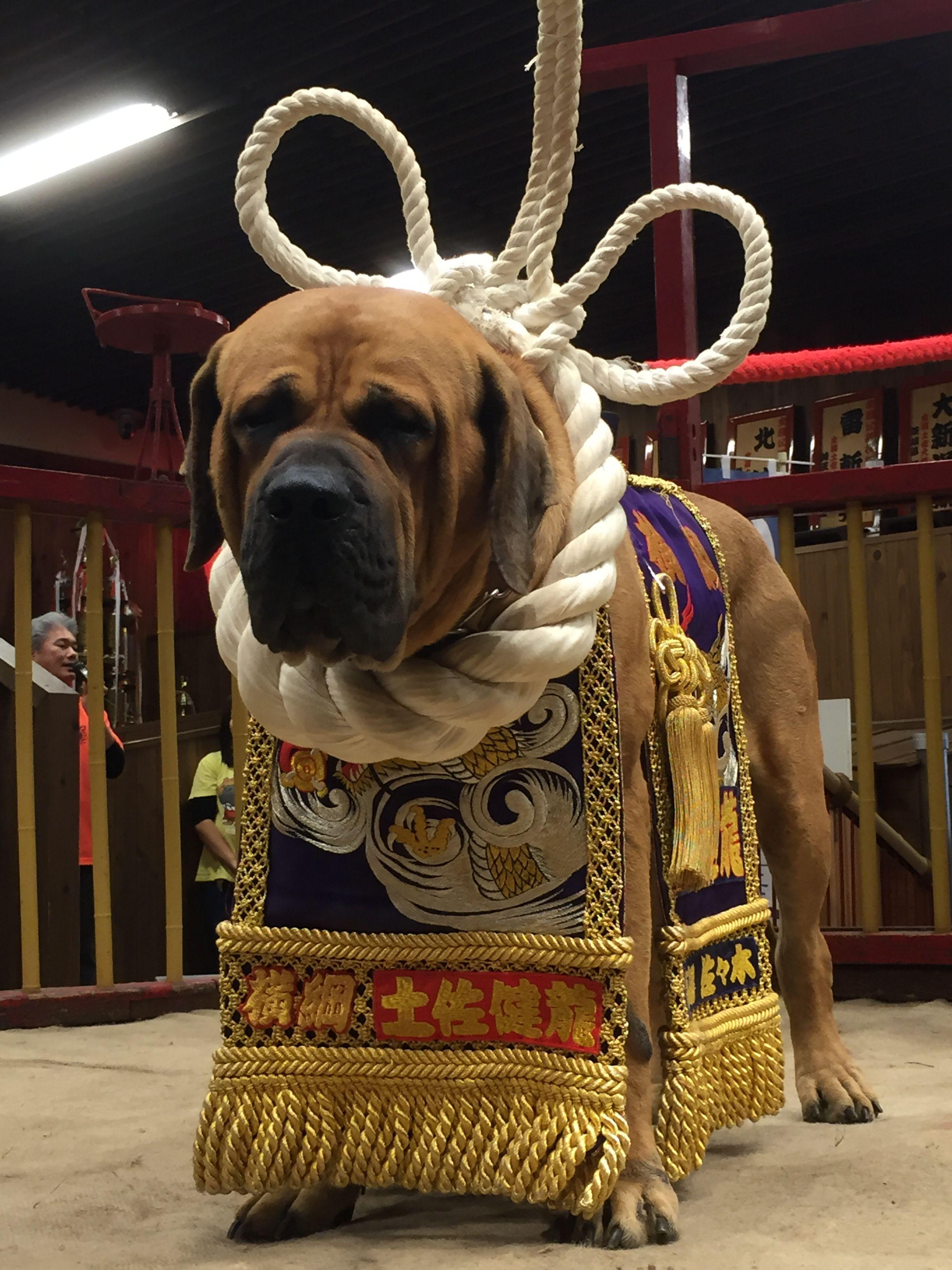 土佐犬 とさいぬパーク Oriental Zodiac Sign 犬 ワンコ Y 動物