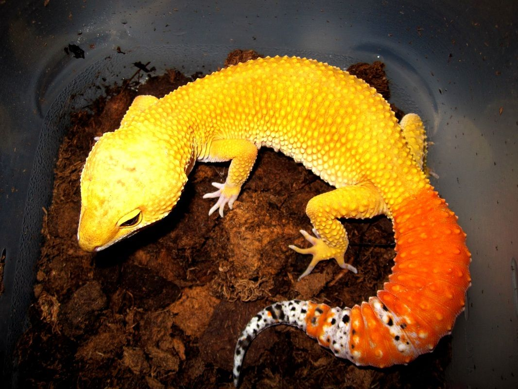 Tangerine Leopard Geckos Reptiles Gecko
