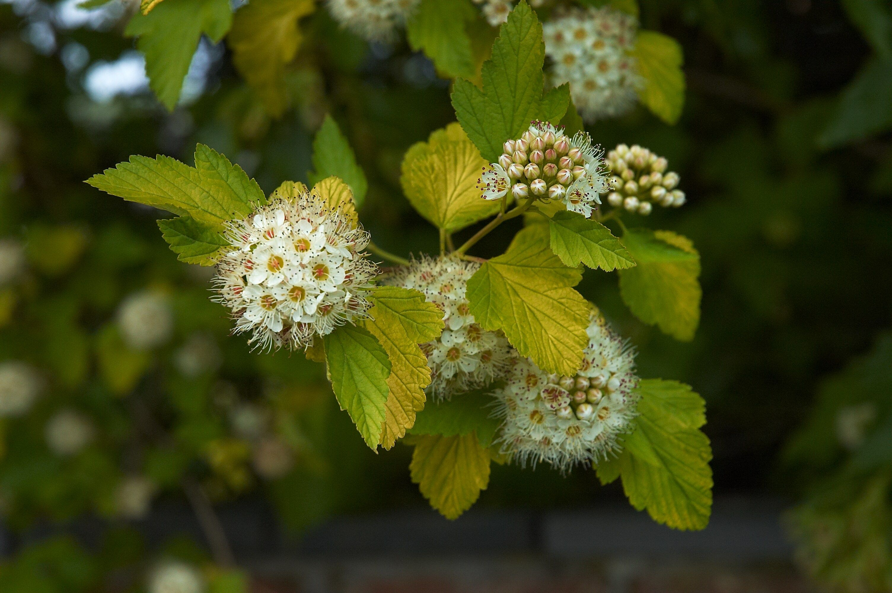 Dwarf Ninebark | Blooms: May to June | Sun Requirement ...
