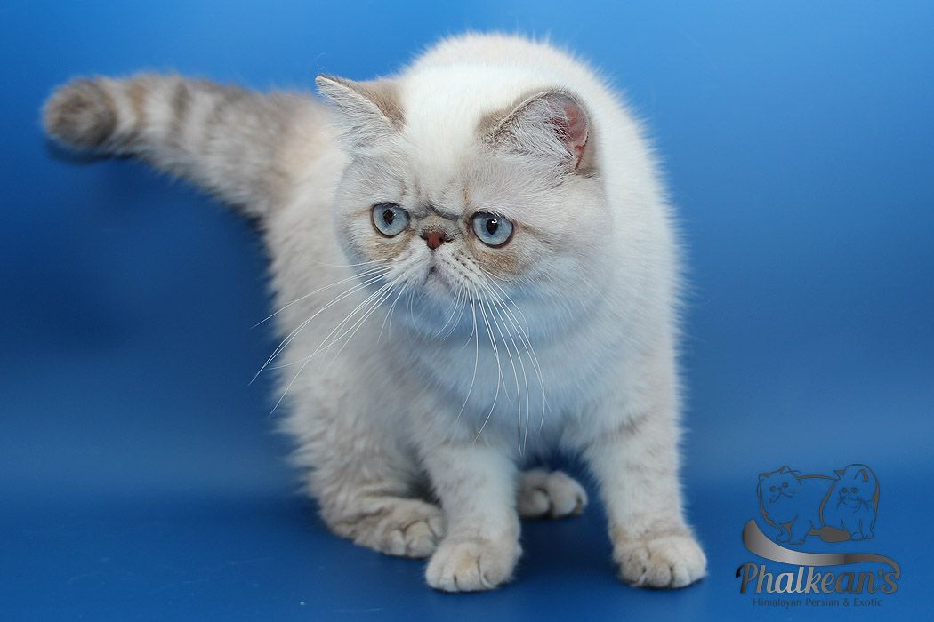 Pin On Phalkean S Exotic Shorthair Himalayan Persian Cattery