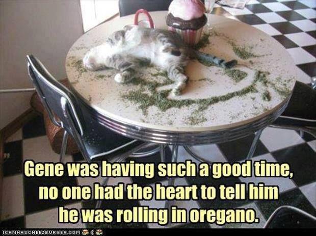 977e6cc27c49c1abfed472dc5a96be9e poor gene oregano cat funny meme catnip animal funnies