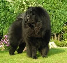 Oh My He Looks Just Like My Rocky Chow Chow Dogs Chow Chow