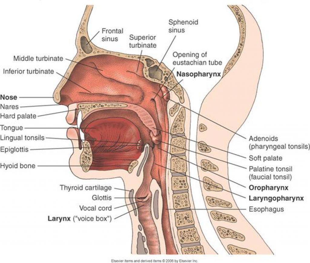 Human Anatomy Respiratory System Images - human body anatomy