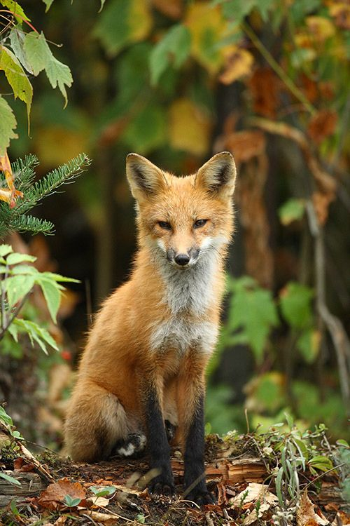 My daughter the FOX animagus.