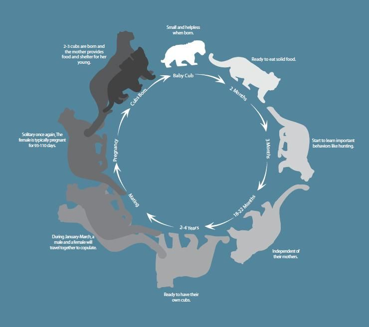 Snow Leopard Life Cycle | Zoology Badge | Pinterest | Cats, Cat ...