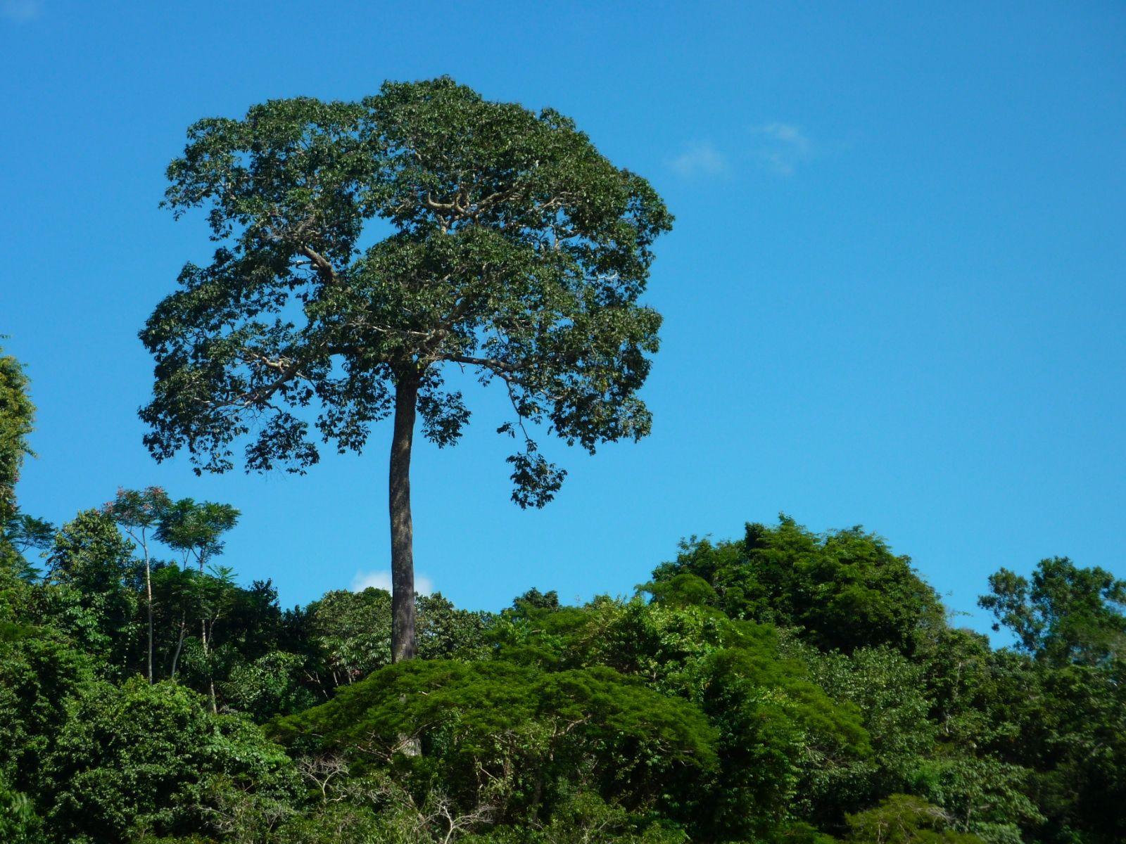 Emergent Layer Brazil Nut Tree