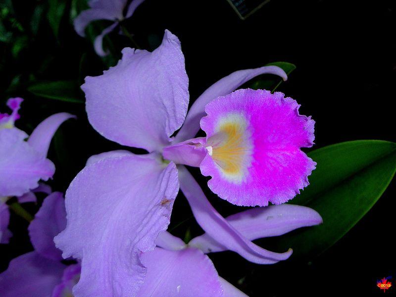 Orchids Cattleya Trianaei Orchidaceae Origin Colombia Sc20130119 026 Cattleya Orchids Orchidaceae