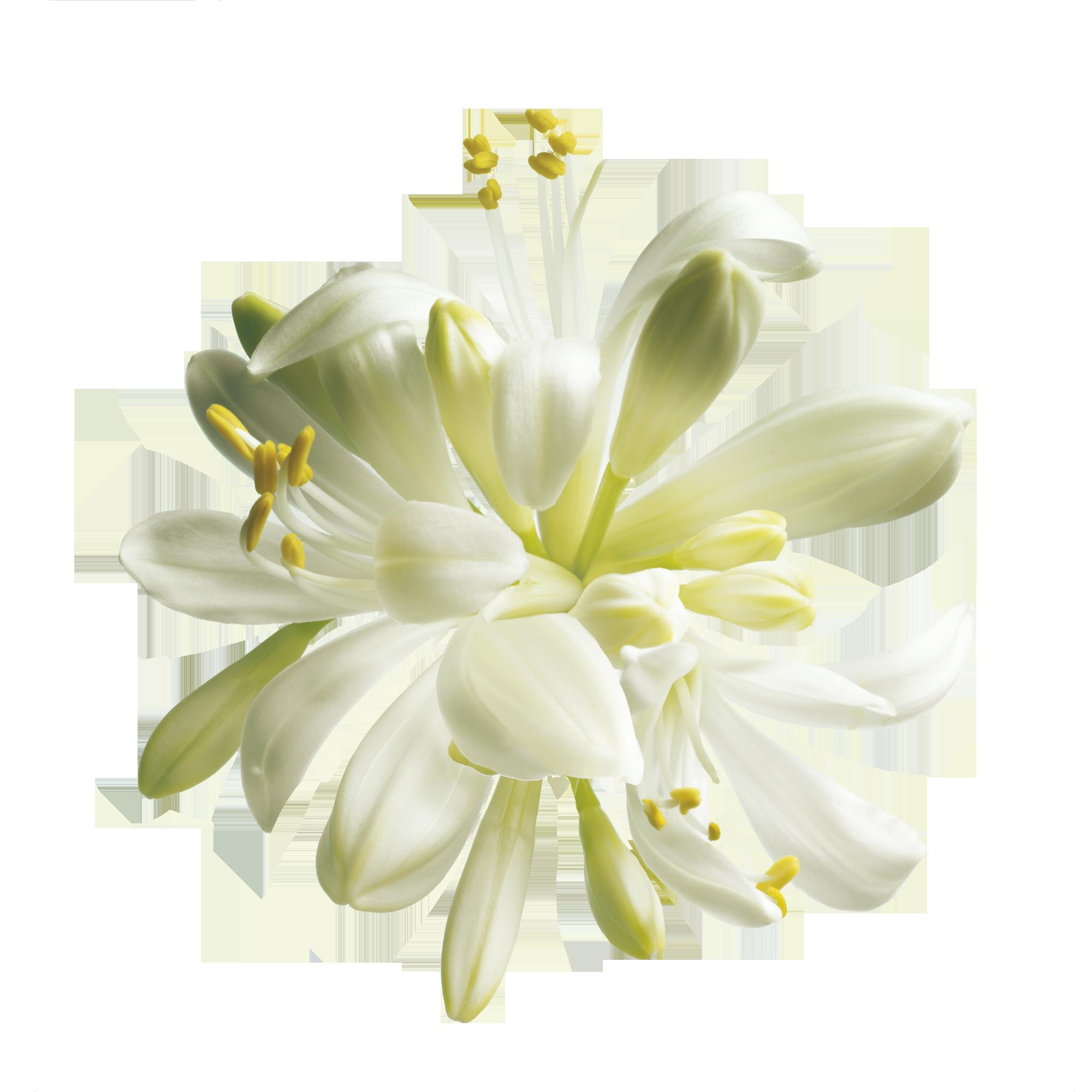 Moringa Moringa tree, Moringa, Flower