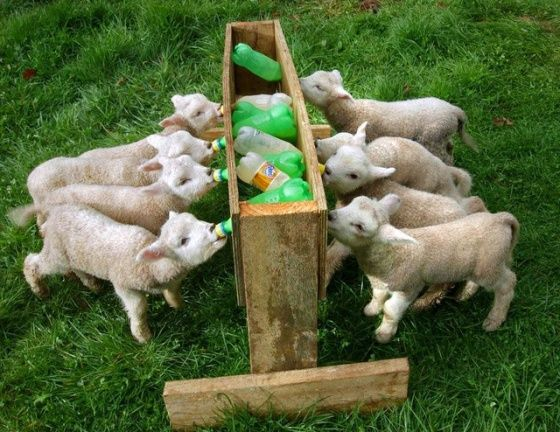 baby lambs  I need to show my grandpa that water trough