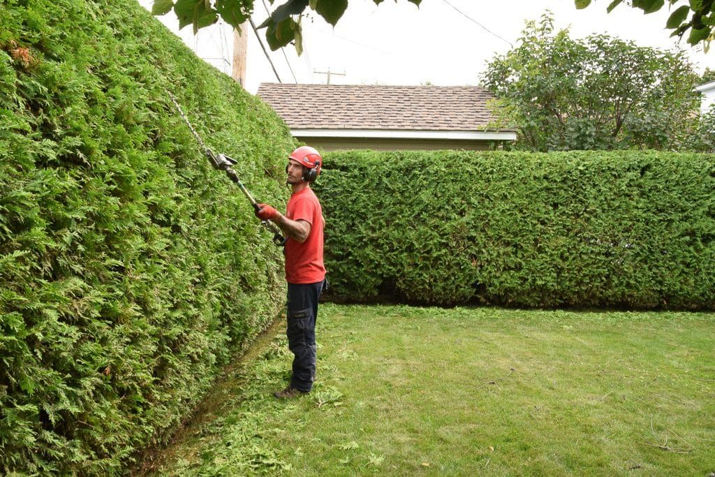 When Is The Best Time For Pruning Arborvitae Hedges Arborvitae