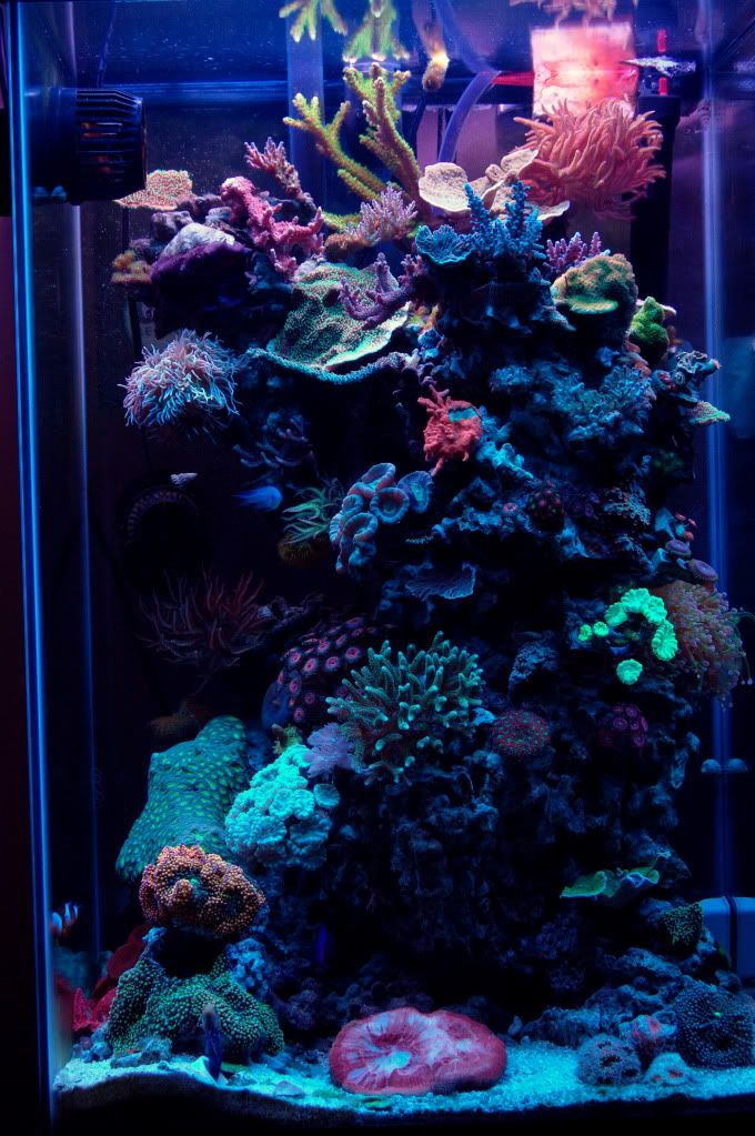 Minimalist aquascaping page 17 reef central online for Community saltwater fish