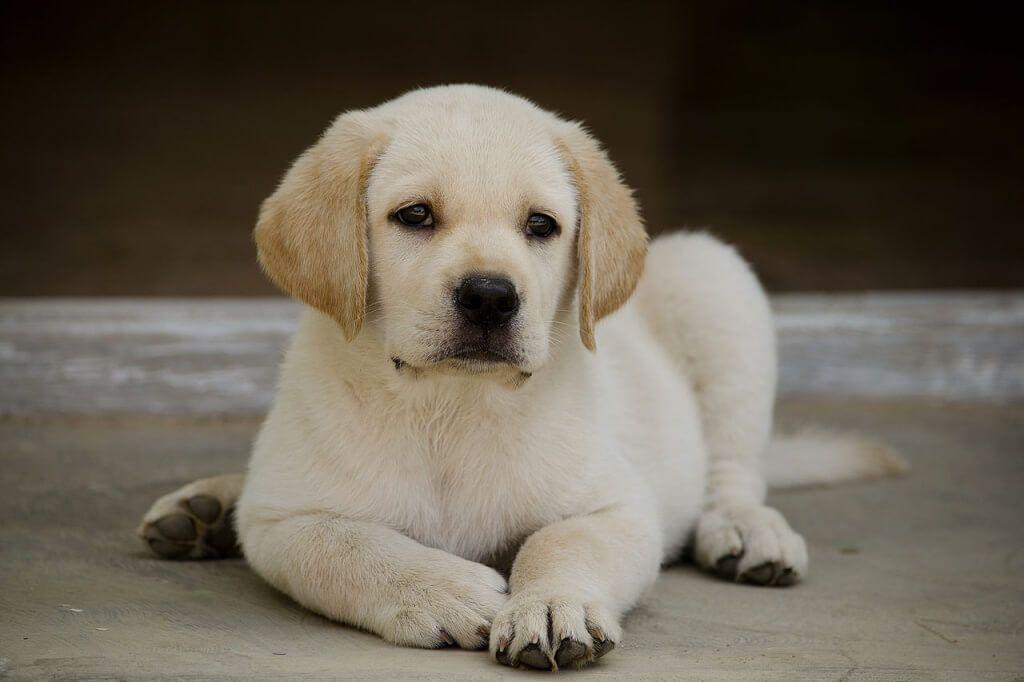 Cute Labrador Puppy Video Cute Labrador Puppies Labrador Cute Puppy Pictures