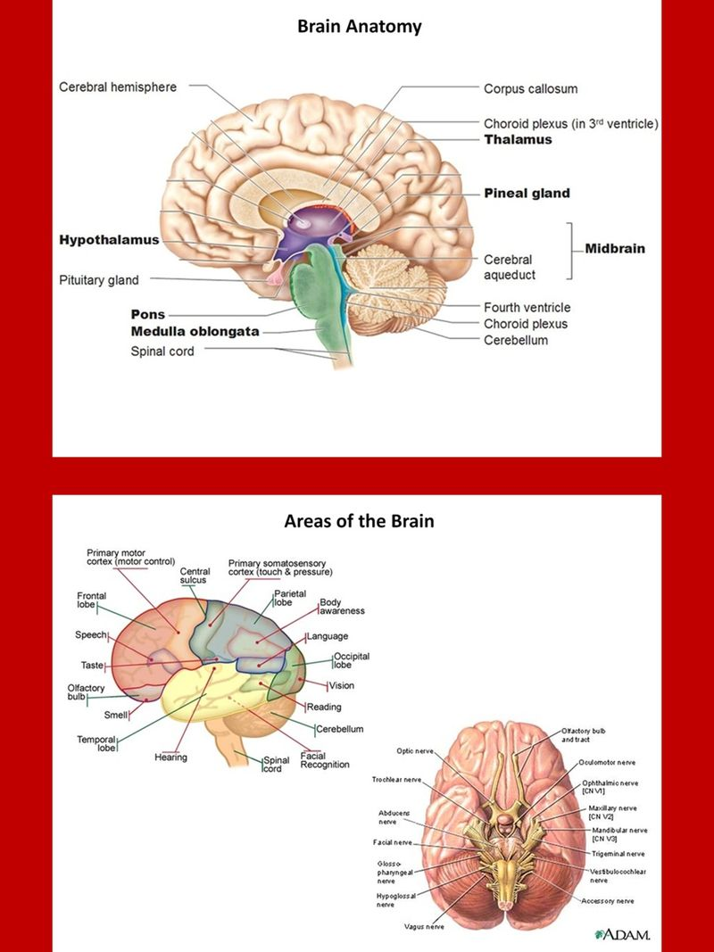The Brain and Basic Neurology Charts and Diagrams with Private Label ...