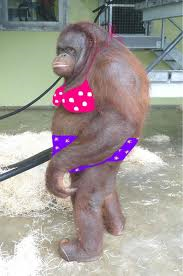 nothing as funny as a monkey in a bathing suit | Bathing suits, Orangutan,  Funny