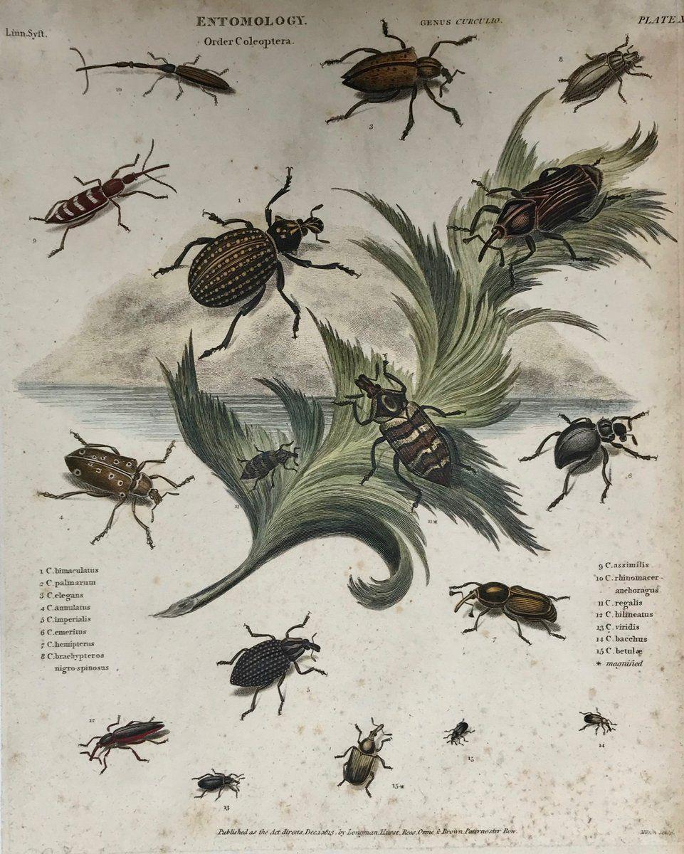 Animals, Insects, Entomology, Beetles, Order Coleopetra | Entomology,  Antique prints, Animals