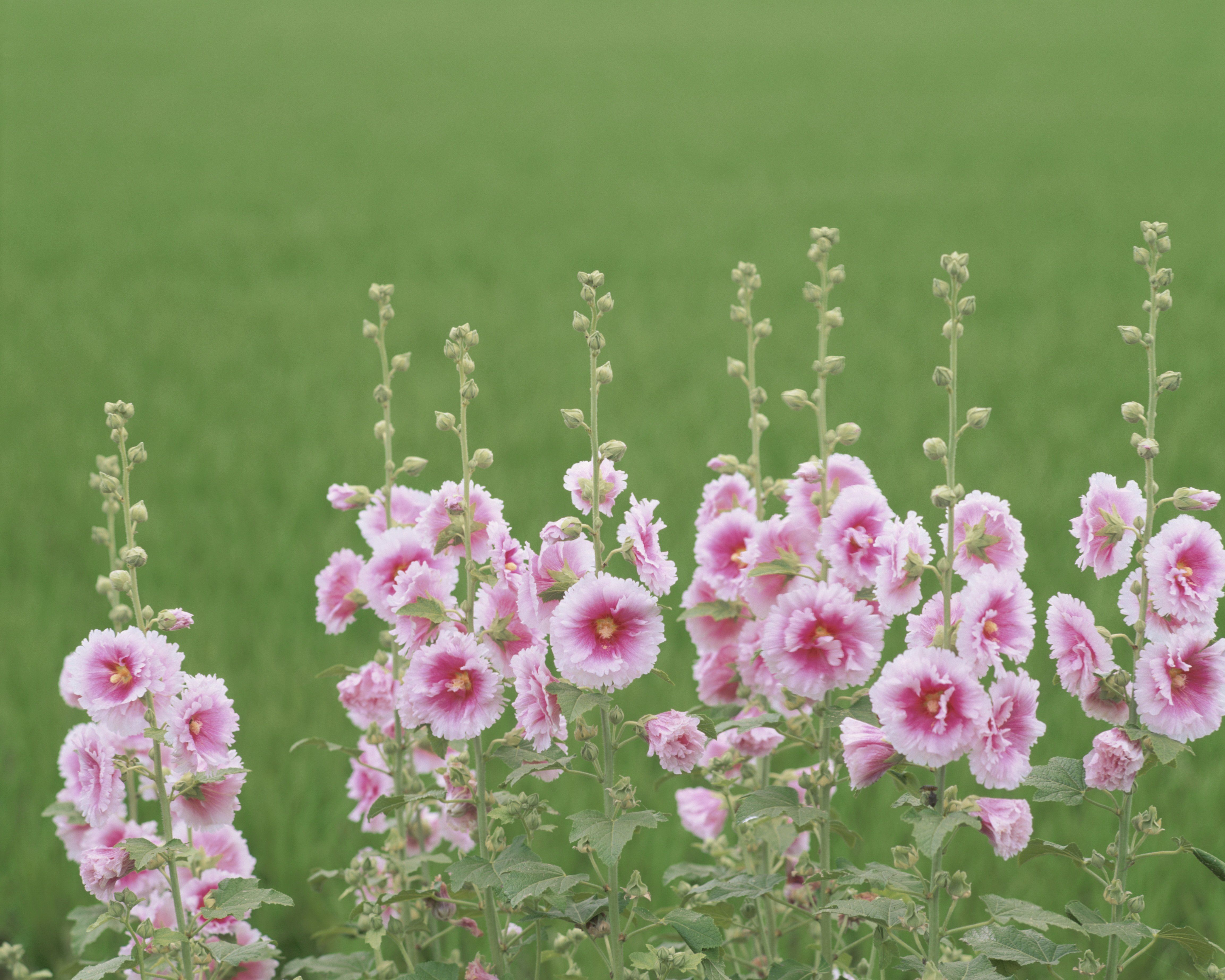 Found on Bing from Flower meanings, Hollyhocks
