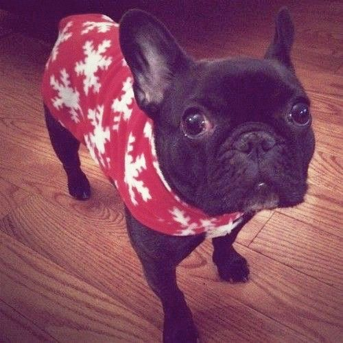 French Bulldog In A Christmas Sweater French Bulldog Dogs