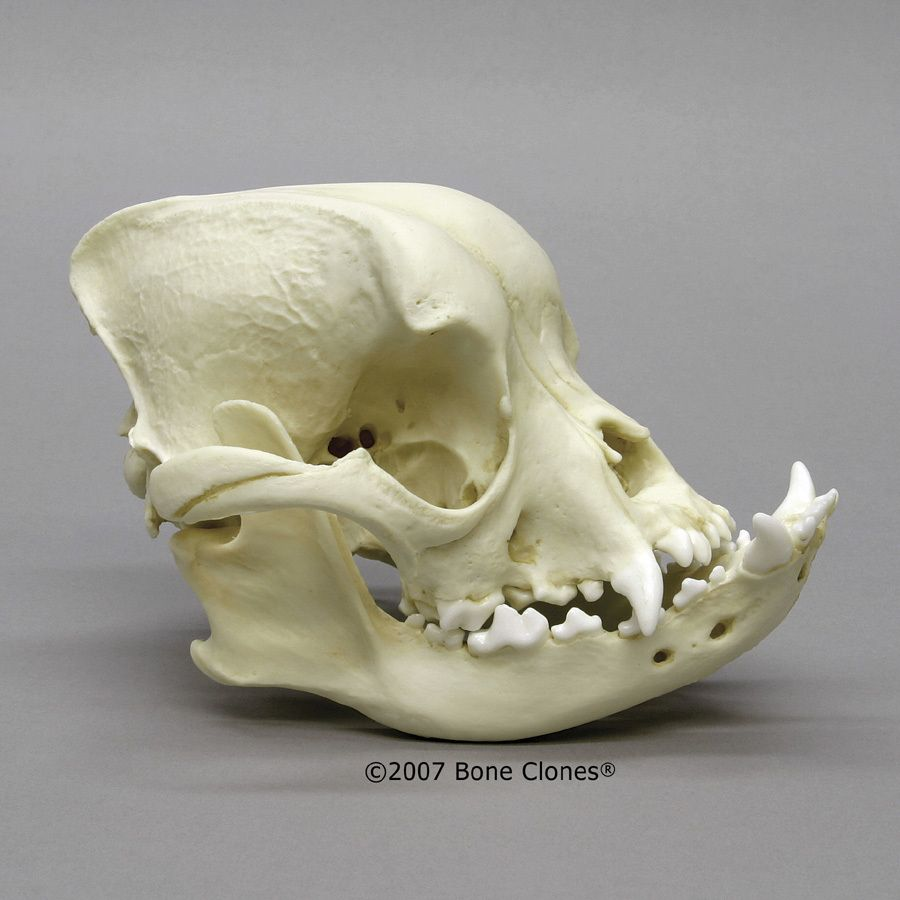 English Bulldog Skull Bone Clones Inc Osteological
