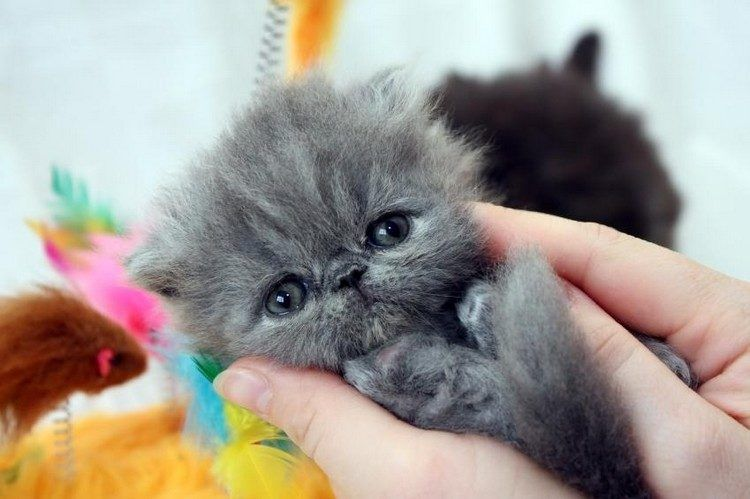 20 Cat Breeds Perfect For Cold Weather Persian Kittens Teacup