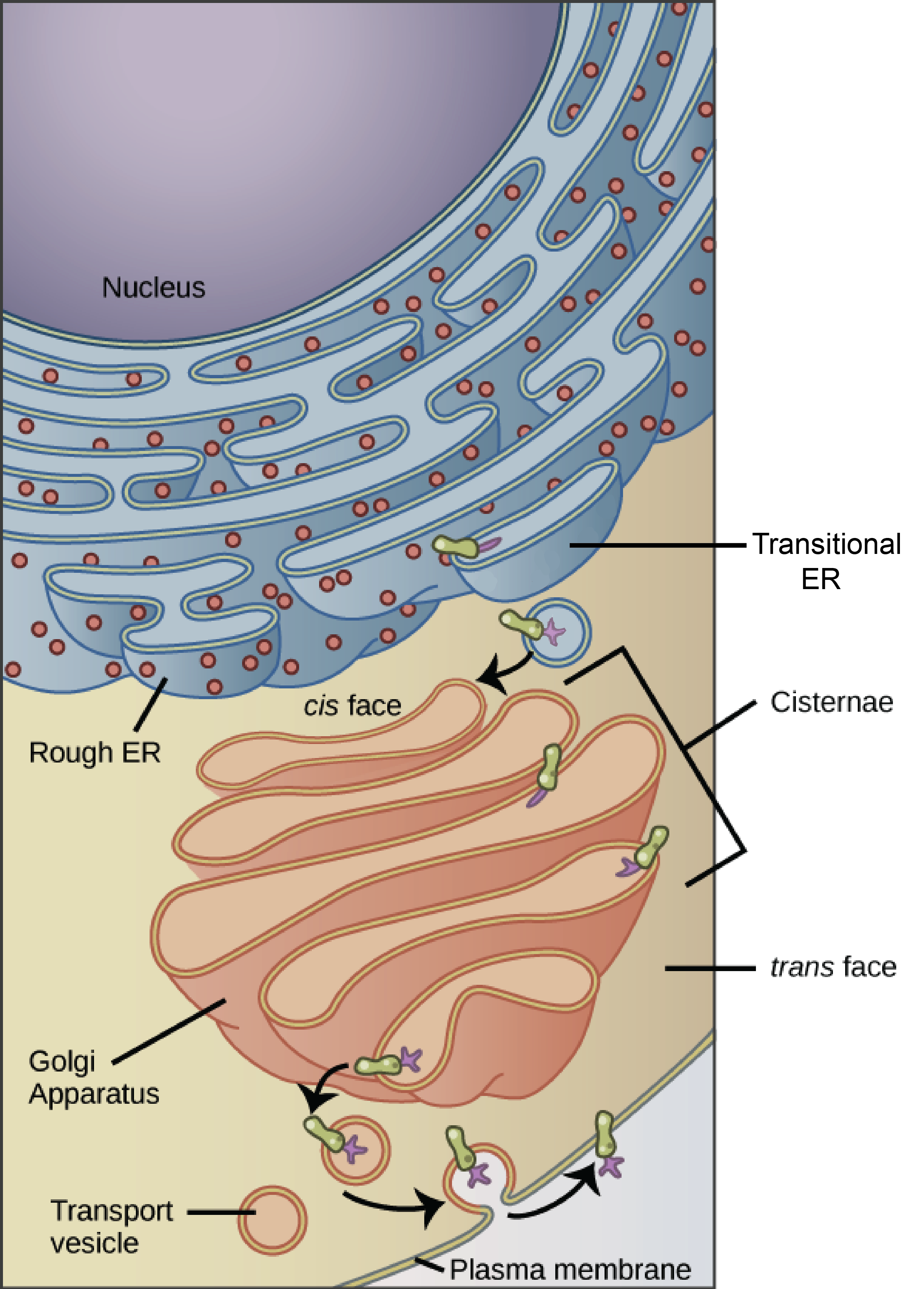 Eukaryotic Endomembrane System Cell Diagram Three Phase Of Soil The Tour A Khan Academy