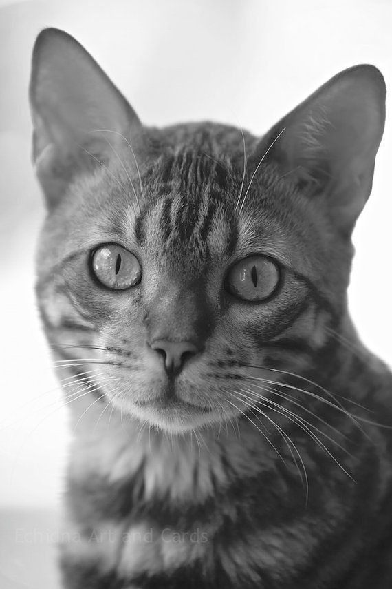 Bengal Cat by Jane on Etsy
