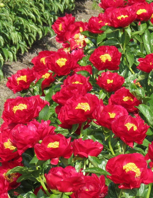 PAEONIA 'The Mackinac Grand'. Plants