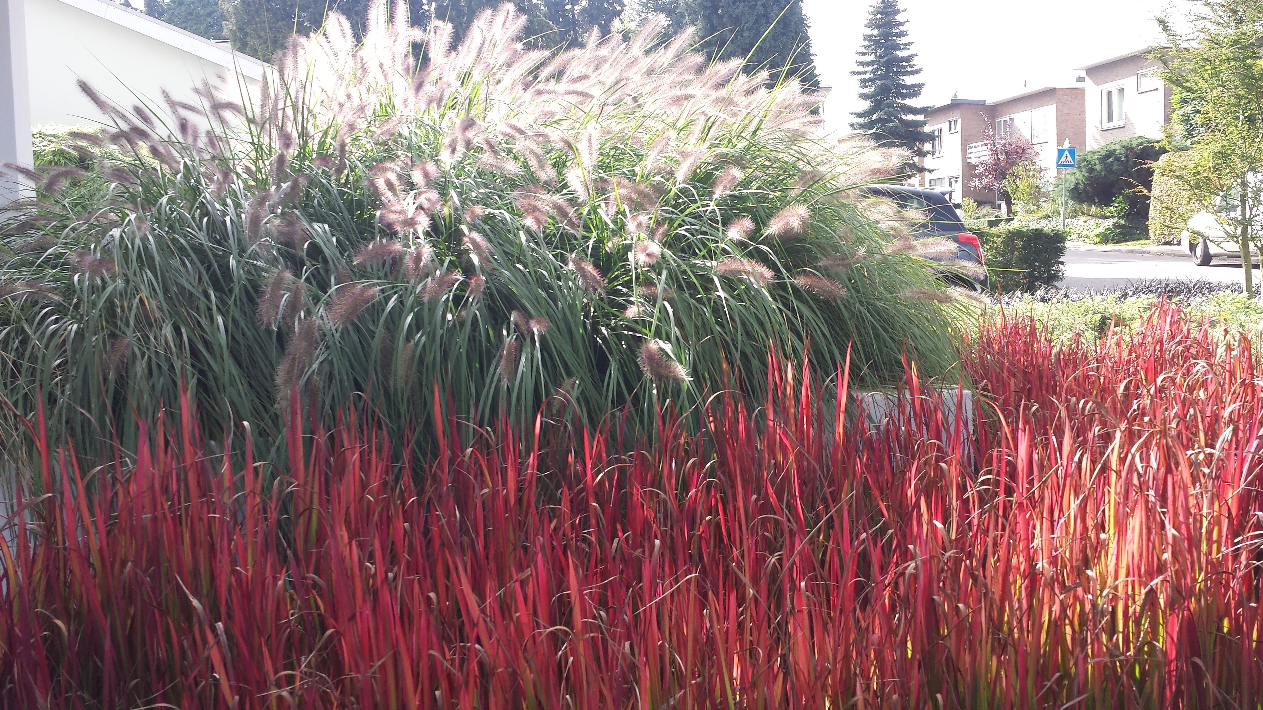 imperata cylindrica red baron pennisetum alopecuroides moderne tuinen pinterest moderne. Black Bedroom Furniture Sets. Home Design Ideas