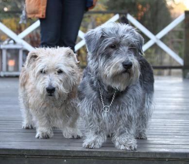 Glen Of Imaal Terriers Glen Of Imaal Terrier Huge Dogs Terrier