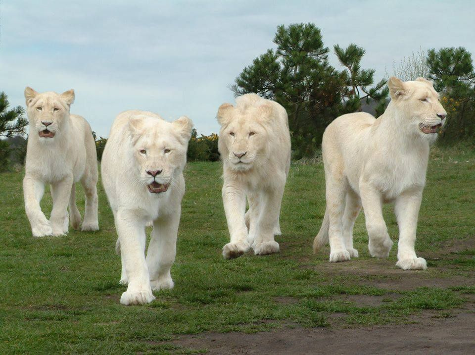 """Family of white lions! A group of lions is called a """"pride"""" 