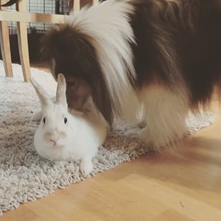 Sheltie and Bunny are Best Buddies