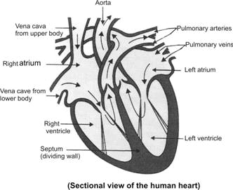 Image result for human heart section diagram class 10 projects to image result for human heart section diagram class 10 ccuart Images