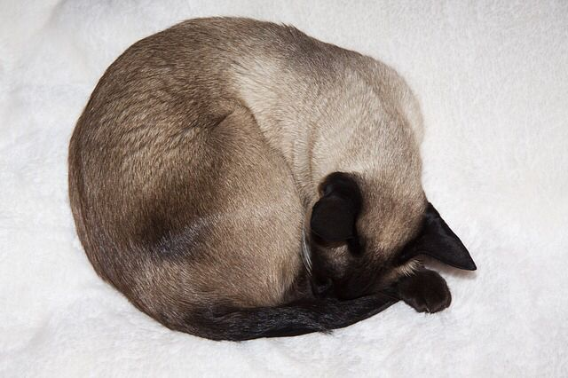 Pin By Susan Potter On Special Siamese Cats Sleeping Animals Siamese