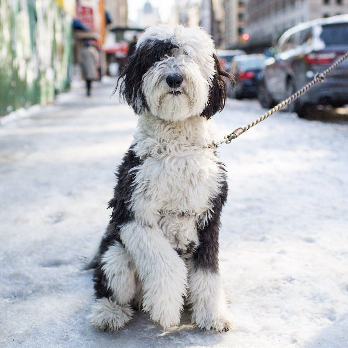 The Dogist Thedogist Twitter Sheepadoodle Cuddly Animals Dog Love