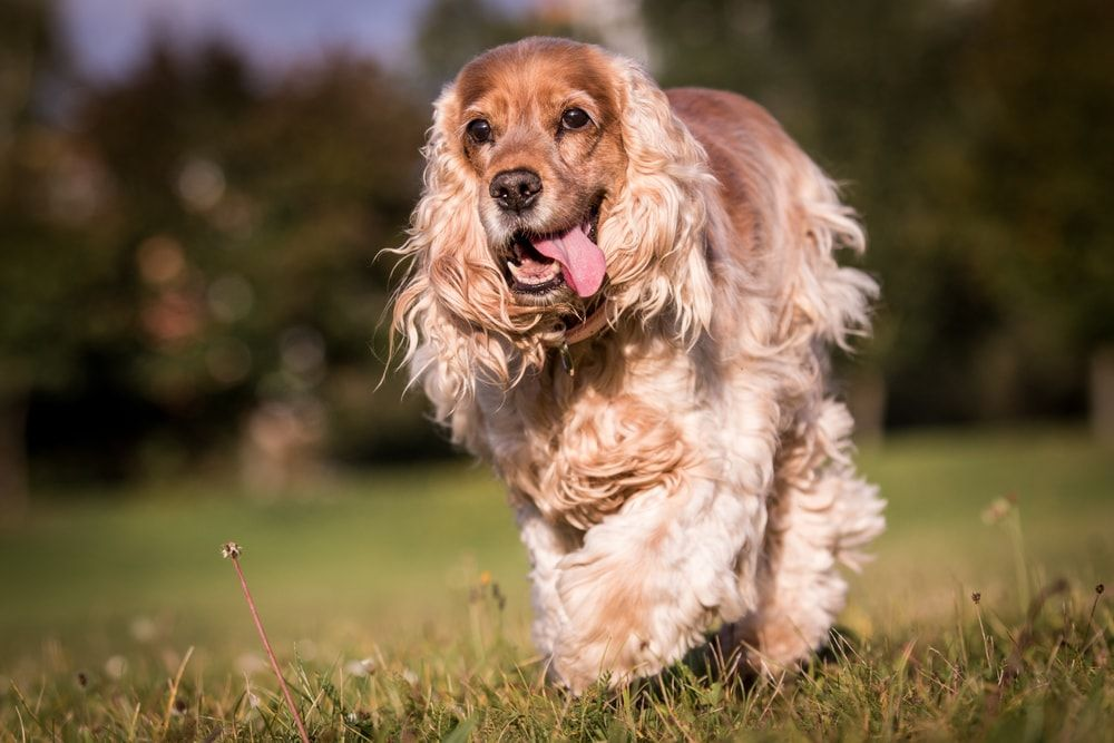 Are Cocker Spaniels Hypoallergenic? Do They Shed a Lot? in ...