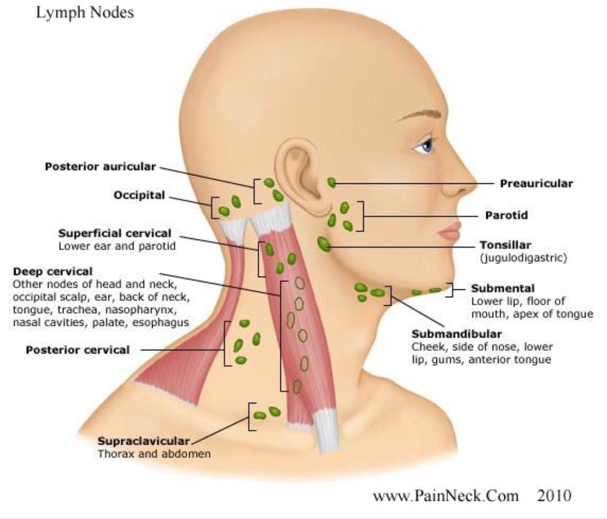 Lymph Nodes Dental Perspective Pinterest Lymph Nodes