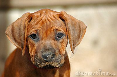 Beautiful Purebred Rhodesian Ridgeback Puppy From South Africa